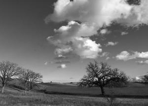 Oak-Trees-bw